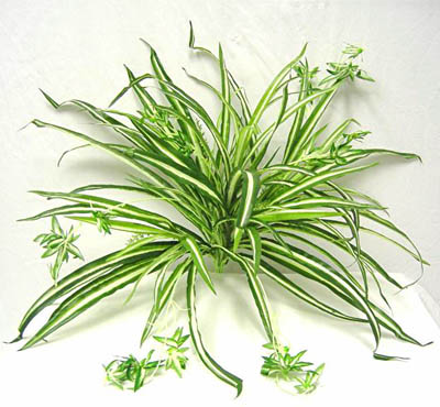 Simples casualidades priv Randy S Chlorophytum_comosum
